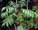 Cây độc: Cây sơn mọc nhiều ở Phú Thọ hễ cứ ngửi thấy là mặt sưng bỏng rát