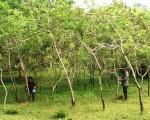 Giá trị cây sơn trong phát triển kinh tế miền núi