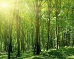 Cây gỗ keo là gì? Ứng dụng của cây gỗ keo